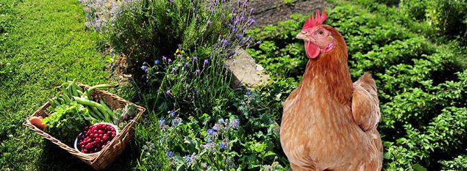 La permaculture les bienfaits des poules dans le jardin for Qu est ce que mange une poule